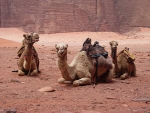 Prima vedere cammello, poi via le microlesioni
